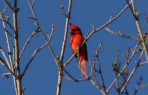 Cardinal in tree 300x193 Ten Reasons to Walk on Spring Mornings