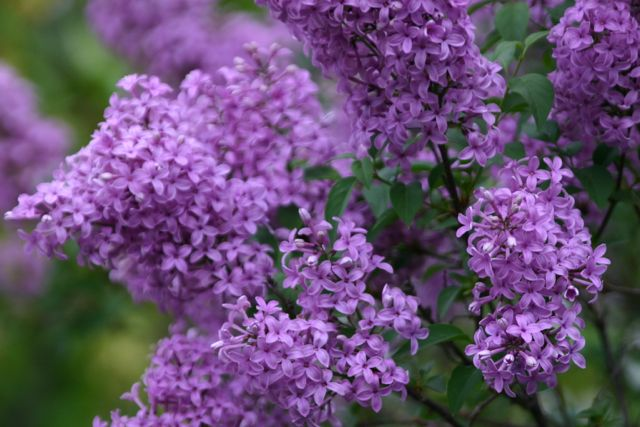 Smelling the Lilacs While They Last this Fantastic Friday