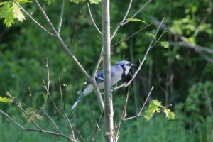bluejay-in-tree