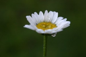 dew drop daisy 300x200 Three My Favorite Season Is Spring Thoughts for Thursday