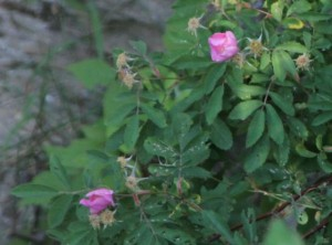wild roses 300x222 More Blessings than Burdens