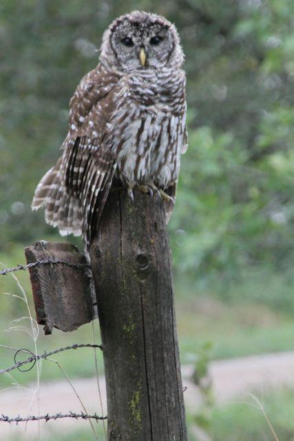 Owly Neighbor