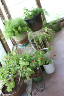 geraniums vinca vine and asparagus fern Hoarders–Another Kind of Cat Lady