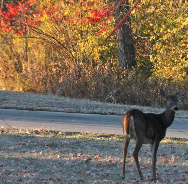 First Frost Deer Three Critter Thoughts for Thursday