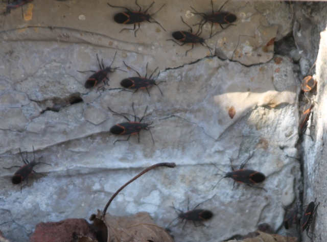 box elder bugs Three Creepy, Crawly Thoughts for Thursday