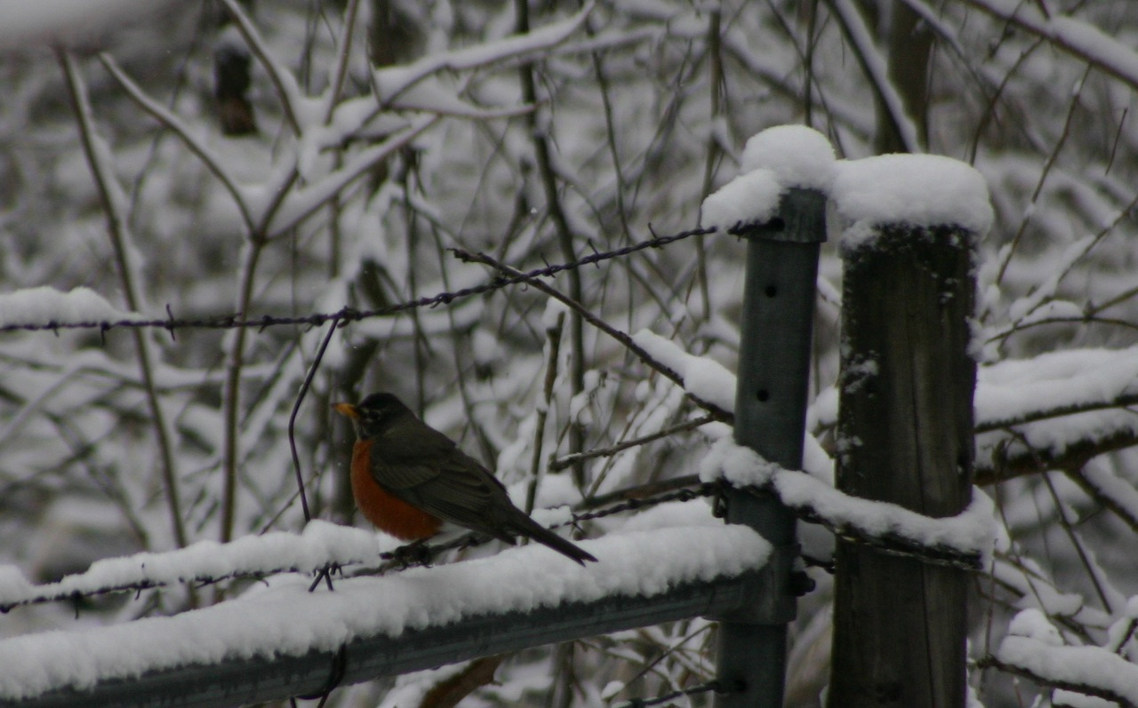 Winter Robin Top Ten Reasons to Be Happy about a Late Spring