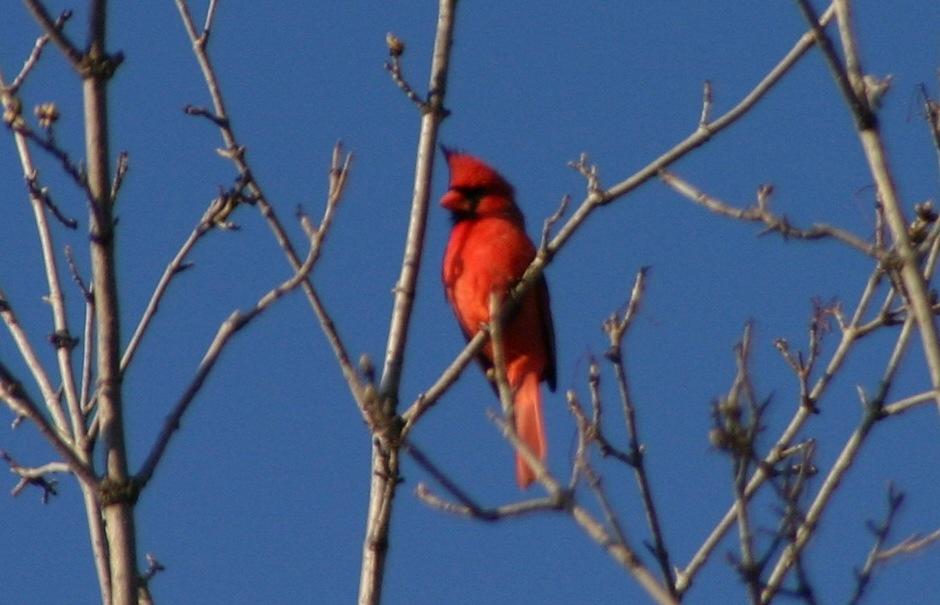 Early Spring Cardinal