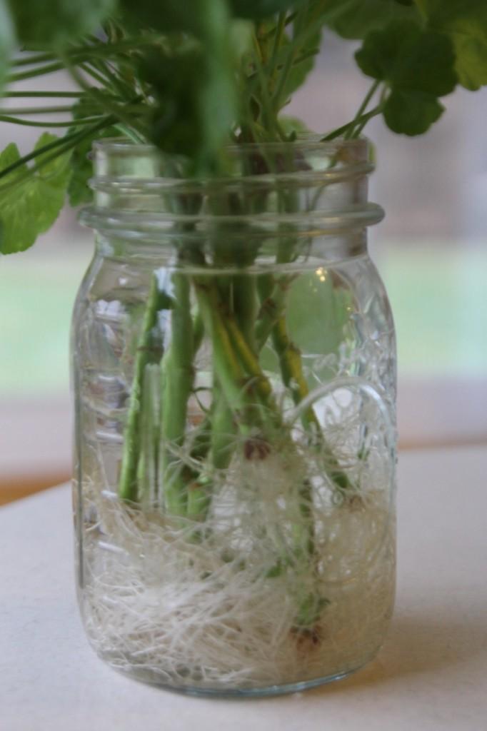 Geranium Roots